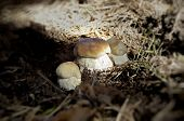 picture of boletus edulis  - Boletus edulis young family born in the forest - JPG