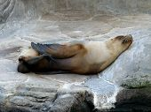 picture of oceanography  - Happy sleeping sea lion in oceanography centre - JPG