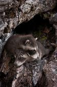 Two Baby Raccoons (Procyon lotor) Crawl Over Each Other