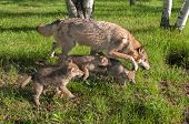 Grey Wolf (Canis Lupus) And Pups Run In Early Morning Sunlight