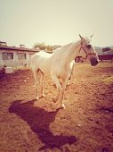 White horse on a farm yard