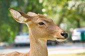 foto of roebuck  - Deer in the zoo close up of thailand - JPG
