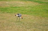 Crowned Crane On  Grass