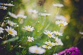 White daisies in a summer garden