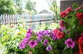 pic of petunia  - Pink and red Petunia outdoor at the summer home decoration - JPG