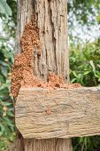 pic of termite  - orange Termite nest on brown fence background - JPG