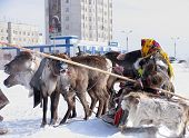 Nadym, Russia - March 18, 2006: Racing On Deer During Holiday Of The Reindeer Breeder.