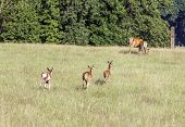 Deer Calves Running To Their Mothers