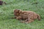Scottish Highland Cow Calf