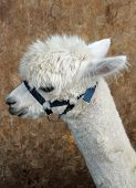 Alpaca head and neck wearing bridle
