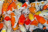 Colorful Many Koi Carps Fish