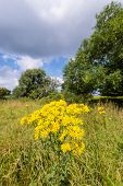 Yellow Flowering Tansy Ragwort In The Early Summer Season