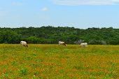 picture of longhorn  - This is just a picture of Longhorns eating grass in Austin - JPG