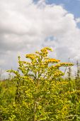stock photo of goldenrod  - Yellow blooming Goldenrod or Solidago plants in their natural habitat - JPG