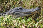 american alligator in southern Florida swamp