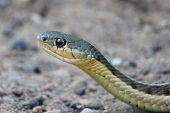 An Alert Gardner Snake