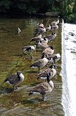 Canada Geese standing on weir.