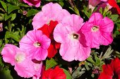 Pink and red Petunias.