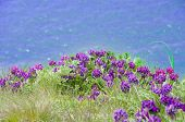 Violets Against The Sea
