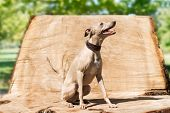 picture of greyhounds  - Elegant greyhound sitting  on the stump in park - JPG