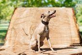 Greyhound on the stump