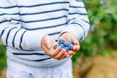 Little Boy Picking Blueberry On Organic Self Pick Farm