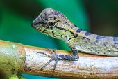 picture of lizards  - Green crested lizard - JPG