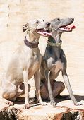 Two  sitting Greyhounds