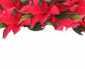 Beautiful frame with poinsettia isolated on white