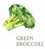 Watercolor hand drawn illustration with vector green broccoli on the white background