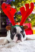 French bulldog with reindeer horns under Christmas tree