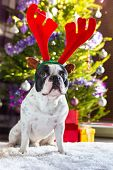 foto of rudolph  - French bulldog with reindeer horns under Christmas tree - JPG