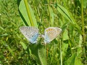 image of animals sex reproduction  - A pair of butterflies Amanda - JPG
