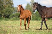 stock photo of foal  - Chestnut foal and black horse walking at the pasture in summer - JPG