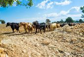 picture of neo  - The herd of goats walks along the road Neo Chorio Cyprus - JPG