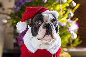 French bulldog in santa costume under christmas tree