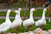 Geese