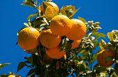 Spanish Bitter Oranges