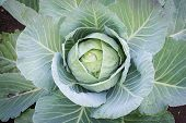 picture of food crops  - Cabbage in the garden autumn crop food - JPG