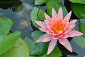 Pink flower in pond