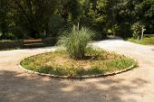 stock photo of pampas grass  - Pampas grass on flowerbed in the central park in Athens Greece - JPG