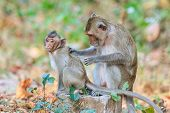 Monkey Family (crab-eating Macaque) Relaxing In Thailand