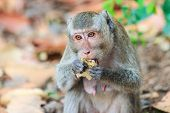 Close-up Of Monkey (crab-eating Macaque) Eating Fruit In Thailand