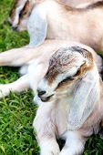 picture of baby goat  - image of baby goat sleep in the farm - JPG