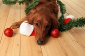 Irish Setter dog with Santa hat and Christmas ornaments.