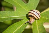 Snail On Green Leaf Closeup View