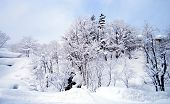 Forest Cover With Thick Snow winter wonderland