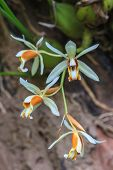 Coelogyne trinervis orchids