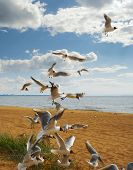 image of flock seagulls  - a flock of birds flying up on the sandy sea coast against a blue sky with clouds - JPG
