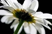 Camomile flower with beetle